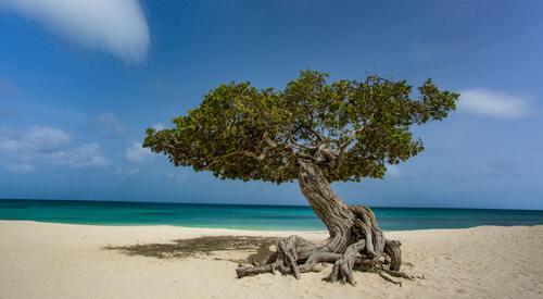 Dividivi boom op het strand op Aruba